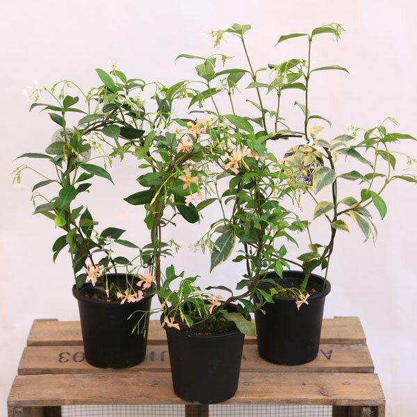 鉢花:スタージャスミン ジャスミン*アーチ仕立て