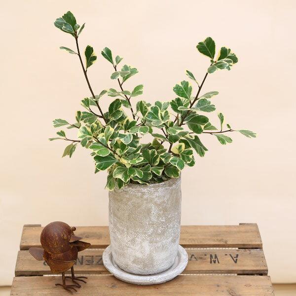観葉植物:フィカス・スウィートハート*セメント鉢 受皿付 ロゼッタトール