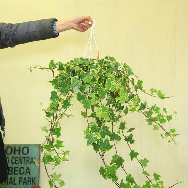 観葉植物:アイビー ヘデラ吊り鉢*品種選べます。
