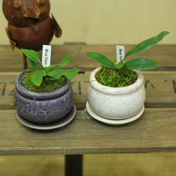 希少品種 観葉植物:コバルトシダミクロソリュム(ミクロソリウム)*陶器鉢 受け皿付