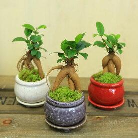 がじゅまる 観葉植物:ミニガジュマル*陶器鉢 受け皿付 苔付き