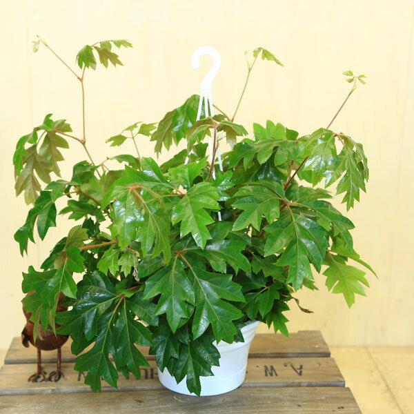 観葉植物:シッサス・エレンダニカ*吊り鉢