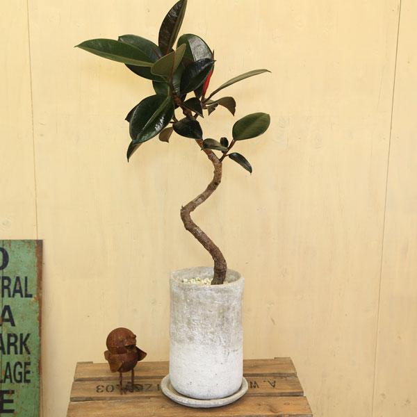 観葉植物:フィカス・バーガンディ クロゴムの木*曲がり ロゼッタトールL 受皿付 白ゼオライト