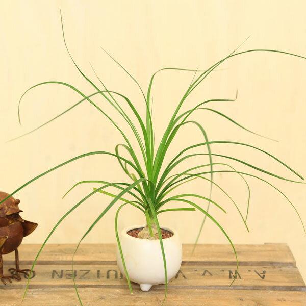 観葉植物:ノリナ・トックリラン*ポニーテール ミニモダン陶器鉢