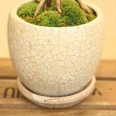 観葉植物:フィロデンドロンセローム*陶器鉢受皿付苔