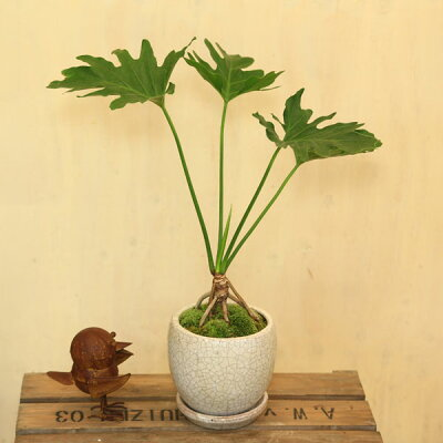 """観葉植物:フィロデンドロン""""セローム"""""""