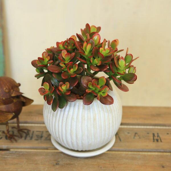 観葉植物:姫黄金花月(ひめおうごんかげつ)*アリエル陶器鉢 受皿付 金のなる木