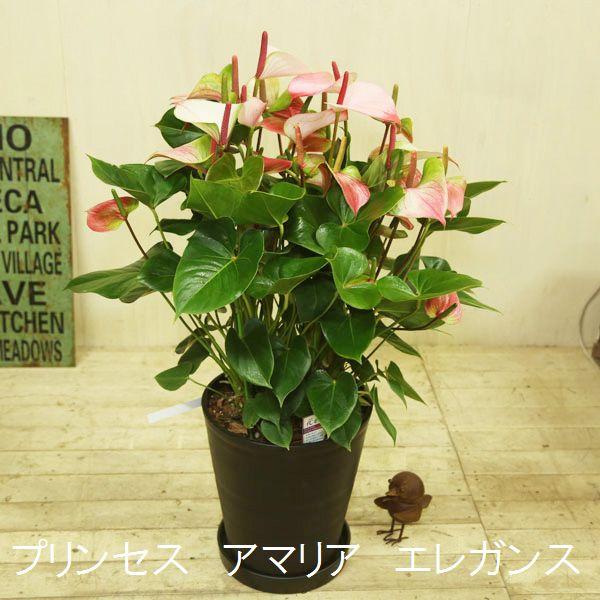 観葉植物 鉢花:アンスリュウム(アンスリウム)*選べる花色 大型ヤマト便