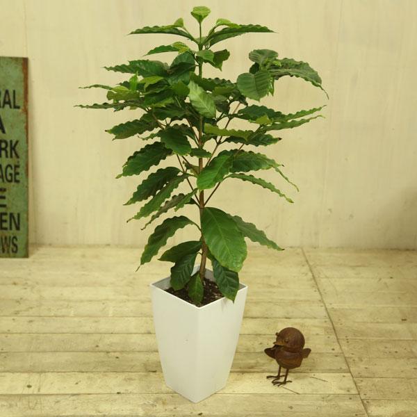 観葉植物:コーヒーの木 *プラポット