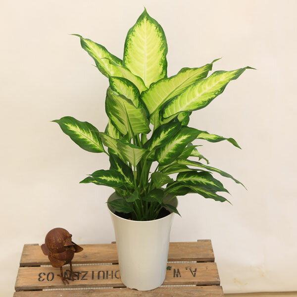 観葉植物:ディフェンバキア カミーラ*