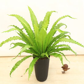 観葉植物:アスプレニウム ビクトリア*