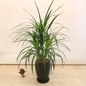 観葉植物:ドラセナ カンボジアーナ*TT陶器鉢 受皿付 ココヤシ飾り