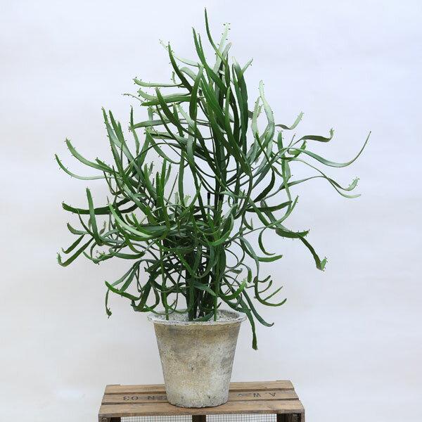 希少 観葉植物:ユーフォルビア キシロフィロイデス*ヘラサンゴ モスポット 白ゼオライト