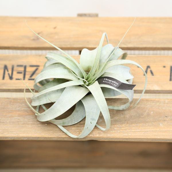 観葉植物:チランジア キセログラフィカ S*エアープランツ*