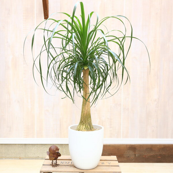 観葉植物:ボーカルニア ノリナ(トックリラン)*マット陶器鉢(受け皿付)