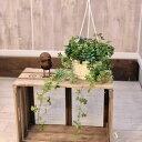 観葉植物:シュガーバイン(シッサス)*吊り鉢