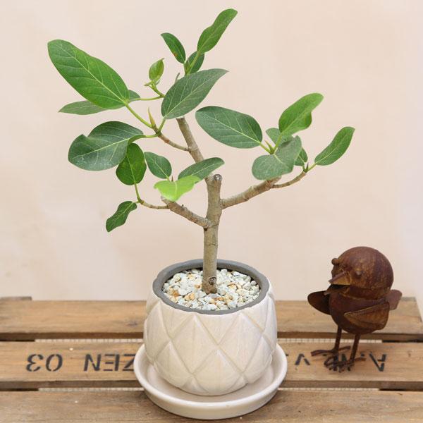 観葉植物:フィカス ベンガレンシス*ベンガルゴム*アンティークホワイト 受皿付 シロゼオライト