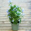 観葉植物:ルリマツリ(瑠璃茉莉)プルンバーゴ *ブルー ホワイト 5号