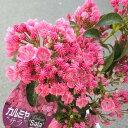 鉢花:カルミア*アメリカシャクナゲ*品種選べます。