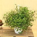 鉢花・吊り鉢:ブライダルベール*5号