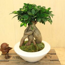 がじゅまる 観葉植物:ガジュマル*陶器鉢あすか 受皿付 苔付き