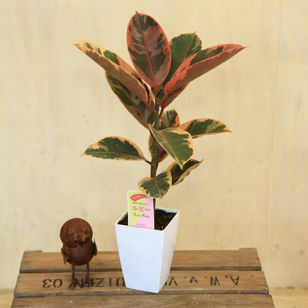 観葉植物:フィカス ルビー(斑入りゴムの木)*