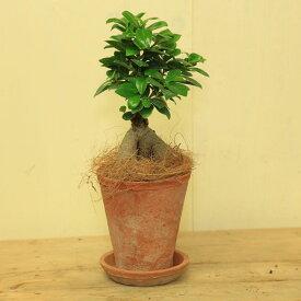 がじゅまる 観葉植物:ガジュマル多幸の樹×モスポット(受け皿付) 精霊の住む木 シュロ皮