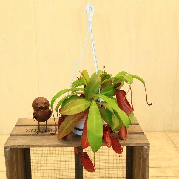 観葉植物 食虫植物:ウツボカズラ ネペンテス レディラック*吊り