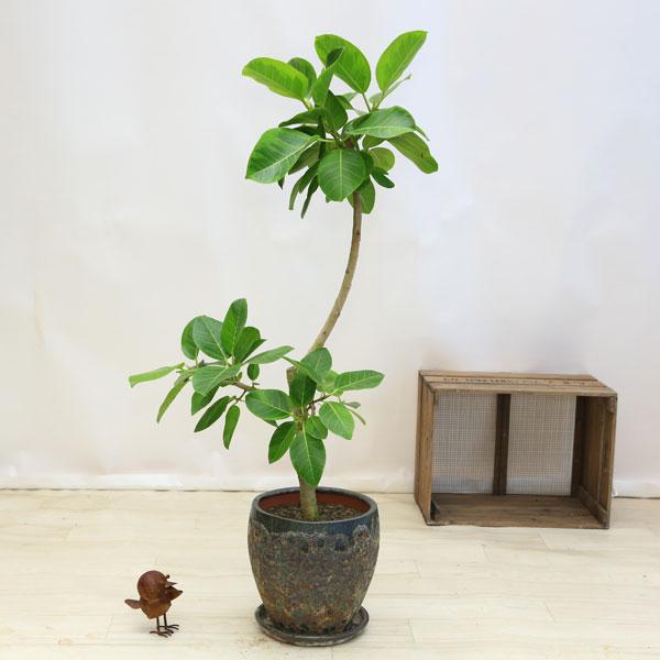 観葉植物:フィカス アルテシーマ(アルティシーマ)*現品 ASH陶器鉢 大型ヤマト便配送 バークチップ 受皿付