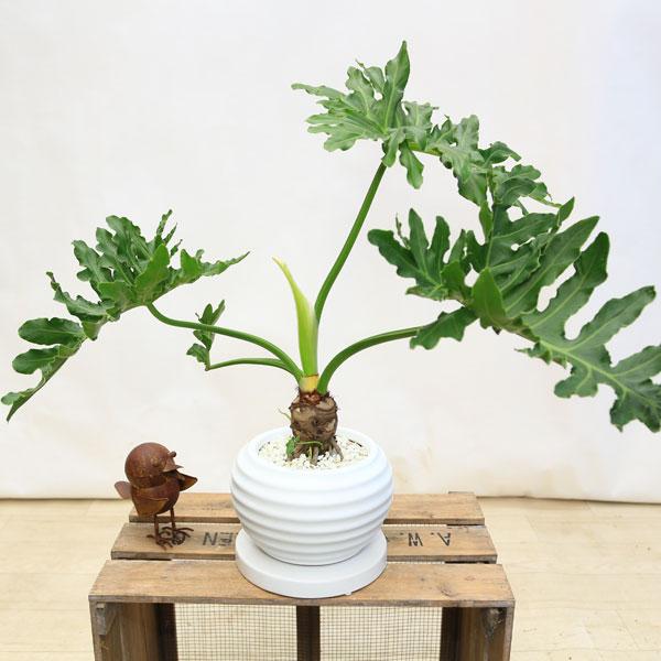 観葉植物:フィロデンドロン  セローム*BB106陶器鉢 受皿付 シロゼオライト