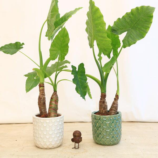 観葉植物:クワズイモ2本寄せ*ヴァレーゼ陶器鉢 受皿付 バークチップ