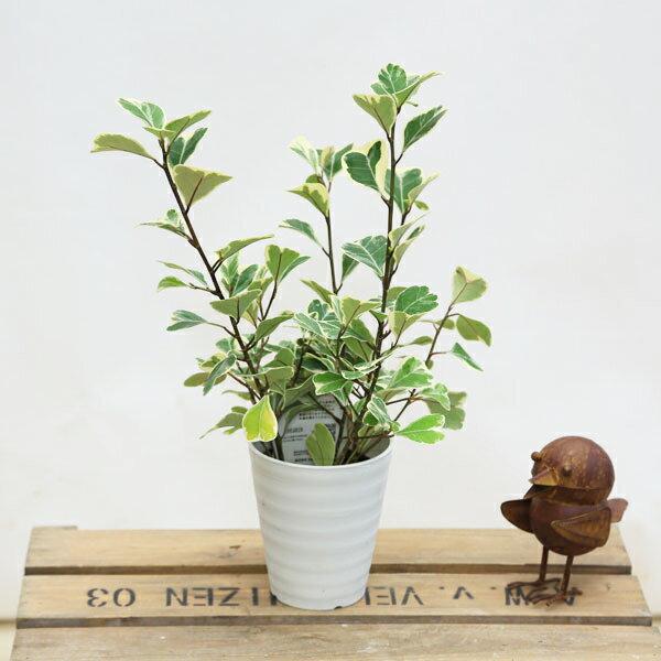 観葉植物:フィカス・スウィートハート*プラポット