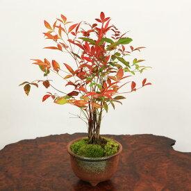 【即日出荷可!】盆栽:南天(萬古焼丸鉢)*【送料無料】bonsai