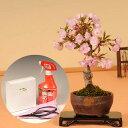 【即日出荷可!】桜盆栽:旭山桜(信楽焼鉢)と道具セット*【送料無料】【さくら盆栽】【葉桜でお届け】