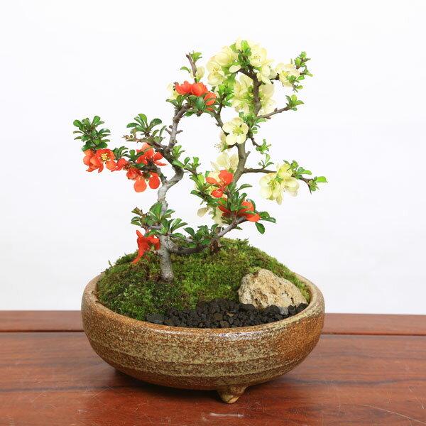 【即日出荷!】小品盆栽:紅白長寿梅寄せ(信楽焼小鉢)*【送料無料】