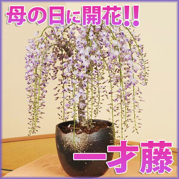 【母の日 ギフト】盆栽:母の日開花一才藤(瀬戸焼志野釉ちぎり鉢)*【送料無料】