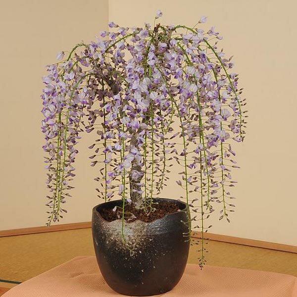 盆栽:特選極太一才藤(瀬戸焼志野釉ちぎり鉢)*(4月に開花)