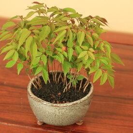 【即日出荷可!】小品盆栽:はぜ寄せ植え(信楽焼小鉢)*【送料無料】