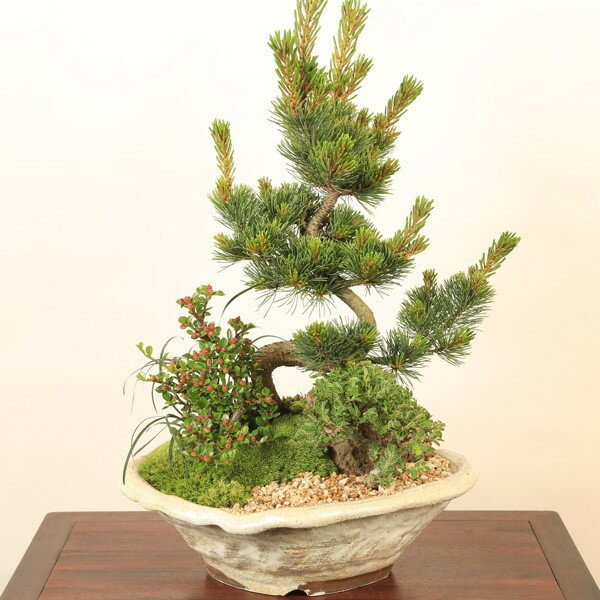 【即日出荷可!】盆栽:五葉松・にれけやき寄せ植えE*【送料無料】【ぼんさい ボンサイ】