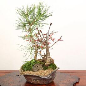 桜寄せ盆栽:八重桜・黒松寄せ*【送料無料】【開花終了】