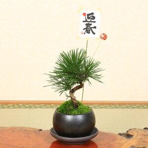 ミニ盆栽:迎春三河黒松(瀬戸焼)*【送料無料】受け皿&ピック付き