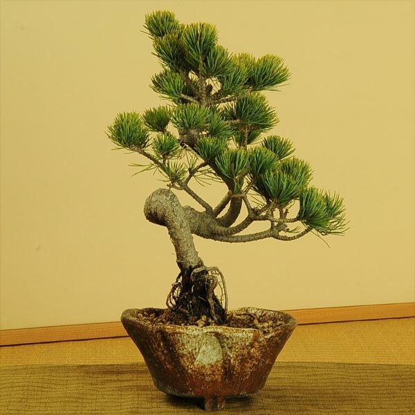 【即日出荷可!】小品盆栽:五葉松(瀬戸焼変形鉢)*【送料無料】