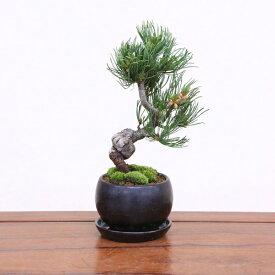【即日出荷可!】【送料無料】小品盆栽:五葉松(瀬戸焼黒丸鉢)*受け皿付き鉢植え