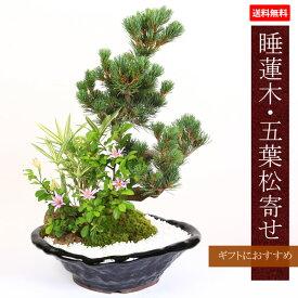 盆栽:睡蓮木・五葉松寄せ(瀬戸焼変形黒釉鉢)*【送料無料】【あす楽対応】bonsai