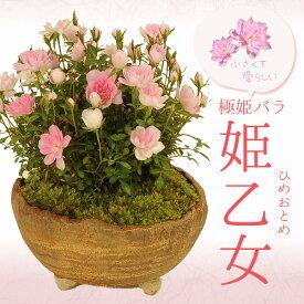 【母の日 プレゼント】ミニ盆栽:極姫バラ・姫乙女(信楽焼小鉢)*【送料無料】