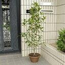 庭樹盆栽:金木犀(キンモクセイ)鉢植え*【送料無料】ヤマト便発送!
