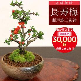 【あす楽 ギフト】◇楽天1位◇ミニ盆栽:長寿梅*【鉢が選べる】【送料無料】【ぼんさい】【ボンサイ】bonsai