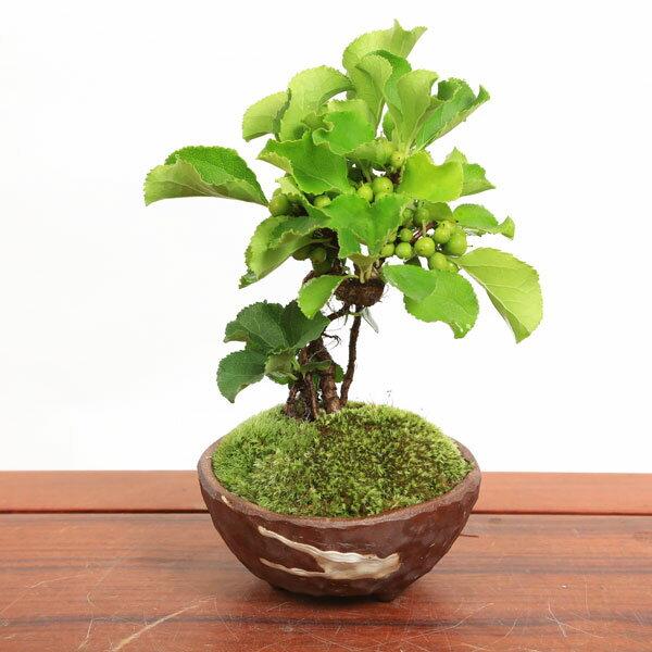 【即日出荷可!】小品盆栽:つる梅もどき(瀬戸焼茶鉢)*【送料無料】
