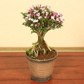 【あす楽 ギフト】【即日出荷可!】小品盆栽:香丁木(萬古焼鉢)*【送料無料】bonsai