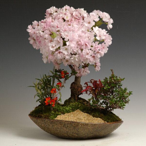 盆栽:八重桜寄せ(信楽焼鉢)*【2018年葉姿でお届け】 【送料無料】